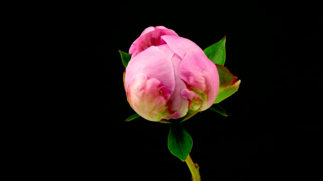 pink peony time lapse - flower stock videos & royalty-free footage