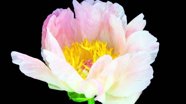 ピンクの牡丹; 低速度撮影 - 一輪の花点の映像素材/bロール