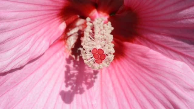 pink perennial hibiscus flower - eibisch tropische blume stock-videos und b-roll-filmmaterial