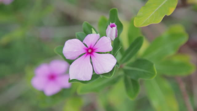 pink periwinkle flower - kilauea stock videos & royalty-free footage