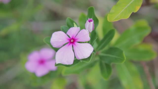 pink periwinkle flower - kauai stock videos & royalty-free footage