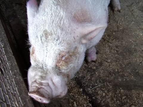 pink pig - tierische nase stock-videos und b-roll-filmmaterial