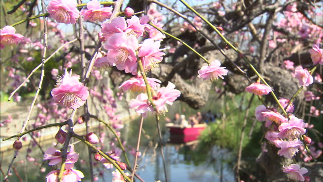 "pink plum blossoms in foreground as tourists travel along moat in ""donko-bune"" sightseeing boat - moat stock videos and b-roll footage"