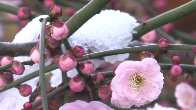 pink plum blossoms with snow - kanto region stock videos & royalty-free footage