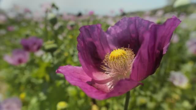 vidéos et rushes de cu pink poppy swaying on breeze in field, pamukkale, denizli, turkey - pétale