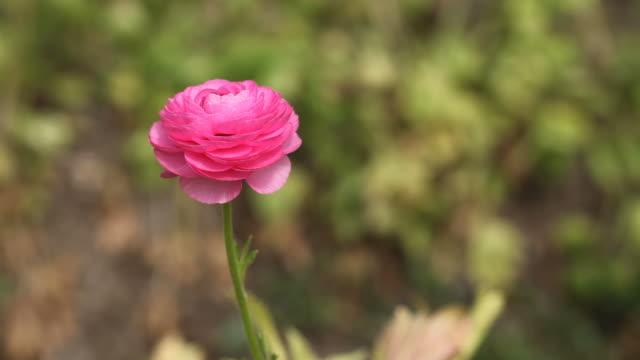 Pink Ranunculus Flowers In Garden