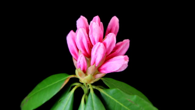 pink rhododendron blooming, timelapse - rhododendron stock videos and b-roll footage