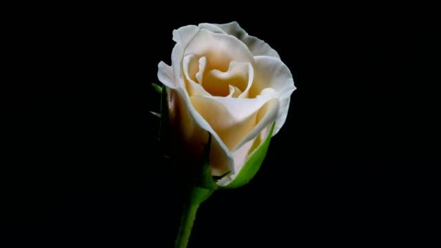 vídeos de stock, filmes e b-roll de rosa fundo preto desabrocham close-up rosa dci 4k lapso de tempo - processo vegetal