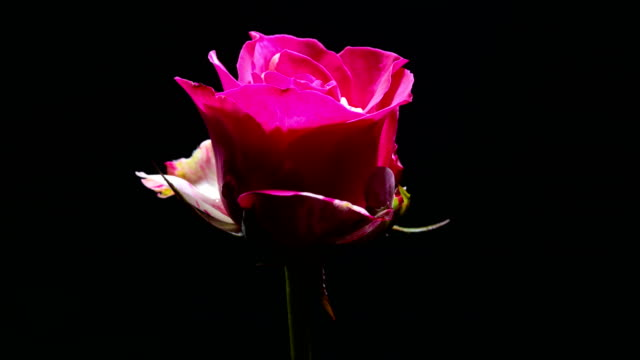 pink rose blooming time lapse - pink color stock videos & royalty-free footage