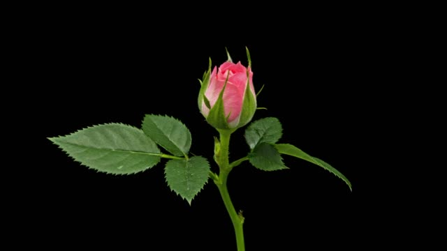 vidéos et rushes de rose rose, floraison time lapse - pink color