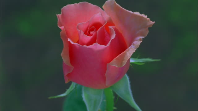pink rose blossoming, dew drops form on petals available in hd. - dew stock videos & royalty-free footage