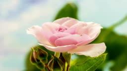 Pink rose flower growing timelapse