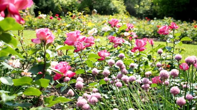 Rosa Rose Blumen im Garten