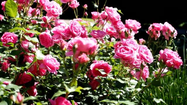 Fleurs Rose Rose dans le jardin