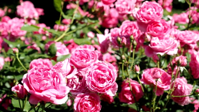 pink rose flowers in the garden - 50 seconds or greater stock videos and b-roll footage