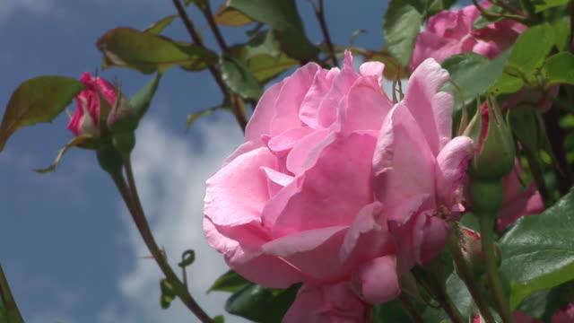 vídeos de stock e filmes b-roll de hd: rosa rosa - inseto