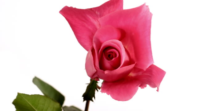 Pink rose, white background