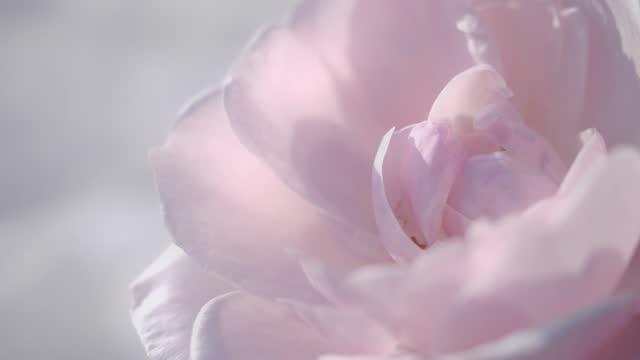 stockvideo's en b-roll-footage met roze rozenachtergrond, rustige natuurlijke achtergrond - bloemenmotief