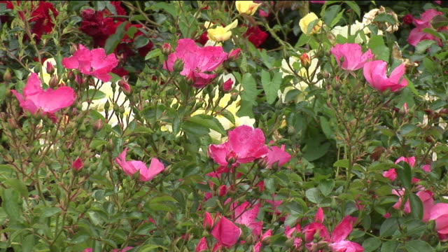 CU, Pink roses blooming in garden, Sneem, Ireland