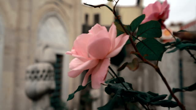 pink roses swaying in mosque madrasah garden - gazanfer agha madrasah tomb - fountain stock videos and b-roll footage