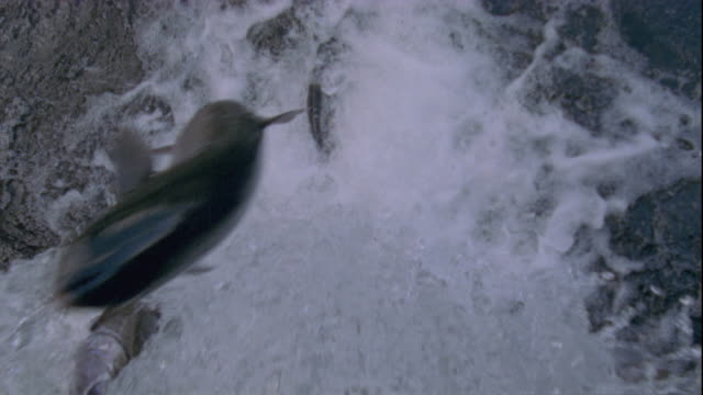 vidéos et rushes de pink salmon attempt to jump up a waterfall in british columbia, canada. available in hd. - canada