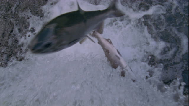 Pink salmon attempt to jump up a waterfall in British Columbia, Canada. Available in HD.