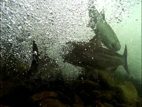 vidéos et rushes de pink salmon (oncorhynchus gorbuscha) swim against bubbling river current, british columbia, canada - groupe moyen d'animaux