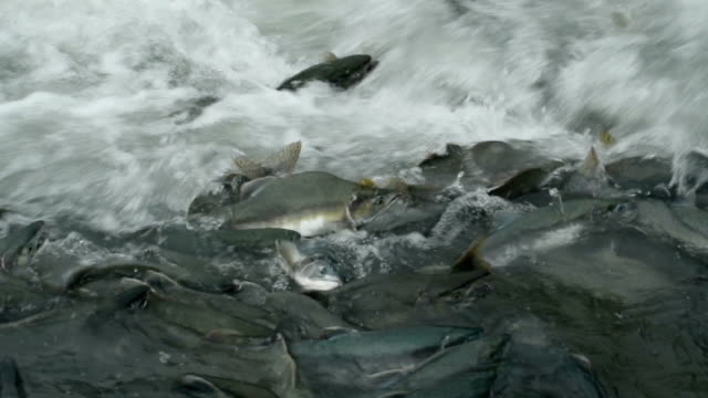 pink salmon - spawning stock videos and b-roll footage