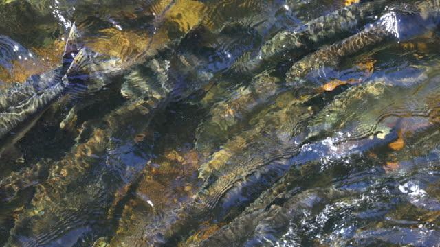 stockvideo's en b-roll-footage met pink salmon (oncorhynchus gorbuscha) viewed from above - alaska verenigde staten