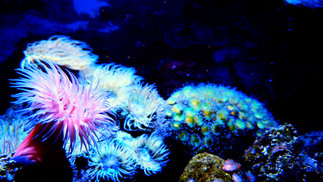 rosa meer anemone auf korallenriff - undersea stock-videos und b-roll-filmmaterial