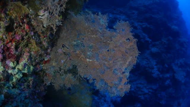 ピンクコーラルの海のファンのサンゴ礁 - ゴーゴニアンコーラル点の映像素材/bロール