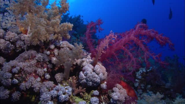 pink sea plant, night dive with lights, fish silhouettes. egypt, red sea  - red sea stock videos & royalty-free footage