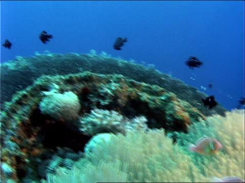 stockvideo's en b-roll-footage met pink skunk clown fish swim around a sea anemone. - ongewerveld dier