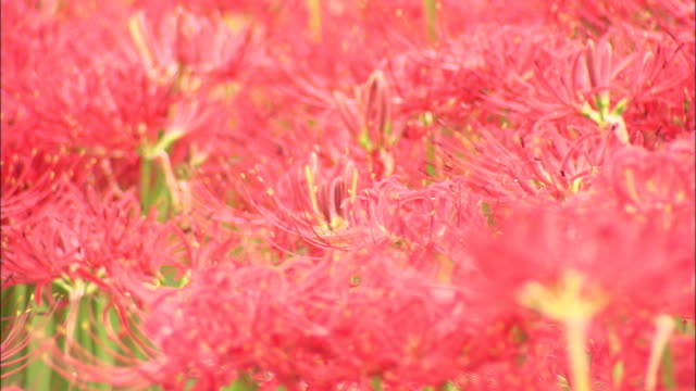 vídeos y material grabado en eventos de stock de pink spider lilies fill a field. - hymenocallis caribaea
