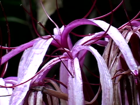 pink spider lily - spider lily stock videos and b-roll footage