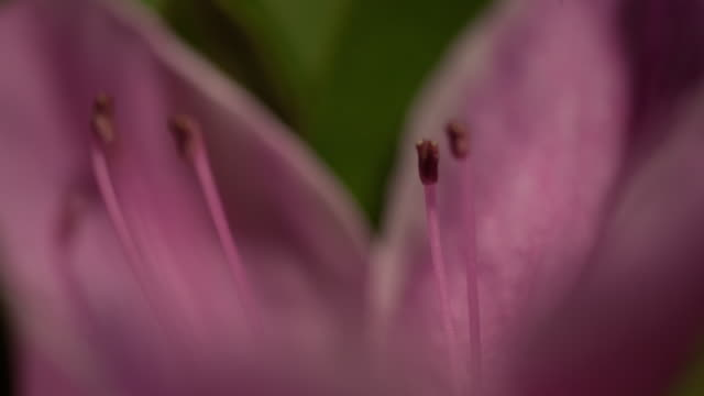 pink stamen - stamen stock videos & royalty-free footage