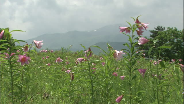 pink star lilies grow in a mountain meadow at tsutsumi-ga-daira in fukushima, japan - stargazer lily stock videos & royalty-free footage