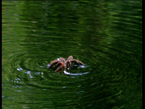 Pink toed tarantula swims in flooded Amazon forest