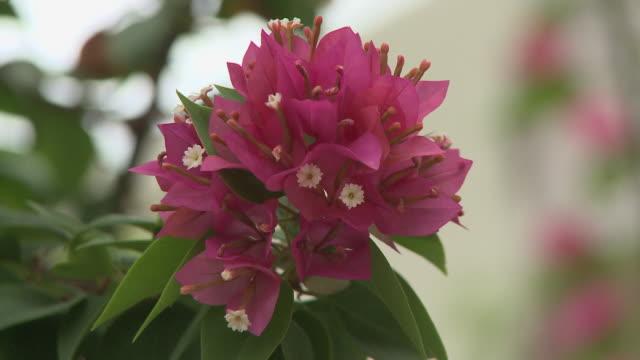 vídeos y material grabado en eventos de stock de cu, pink tropical flower, playa del carmen, quintanaroo, mexico - playa del carmen
