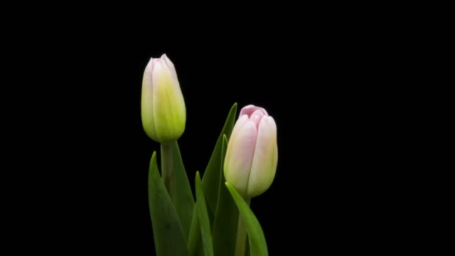 pink tulip time lapse - tulip stock videos and b-roll footage