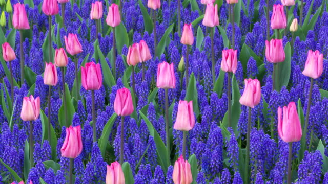 pink tulips and grape hyacinth (mascara botryoides) growing in springtime formal garden, full format. lisse, south holland, netherlands. - hyacinth stock videos & royalty-free footage