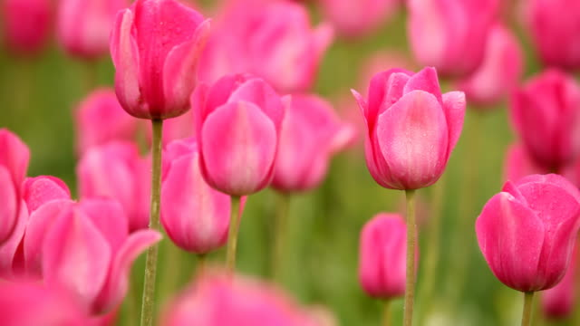hd pink tulips in field - tulip stock videos and b-roll footage