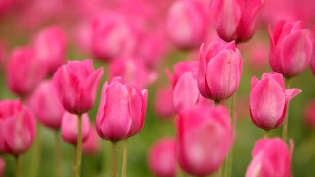 hd pink tulips in spring - tulip stock videos and b-roll footage