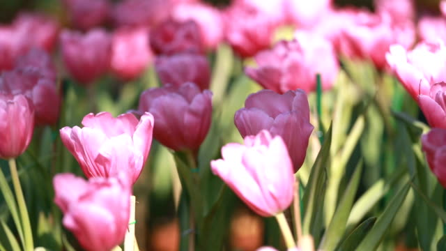 pink tulips in the garden. - temperate flower stock videos and b-roll footage