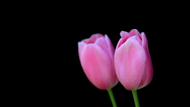 ブラックにピンクのチューリップ - チューリップ点の映像素材/bロール