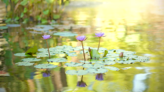pink water lily with lotus leaf on pond. waterlily in garden pond. beautiful purple lotus, water plant in a lake. - water plant stock videos and b-roll footage