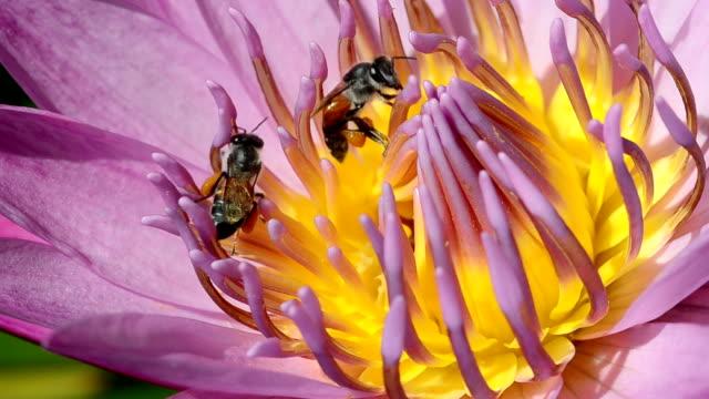 pink waterlily mit bienen - insekt stock-videos und b-roll-filmmaterial