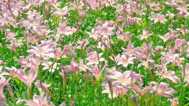 pink zephyranthes flowers rain lily - grounds stock videos and b-roll footage