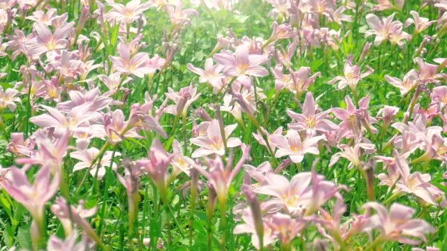 vidéos et rushes de fleurs de lis rose zephyranthes à jets de pluie - lis