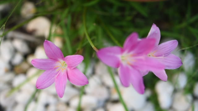 vídeos de stock e filmes b-roll de pink zephyranthes or rain lily flowers in garden with white pebble path way background - estame